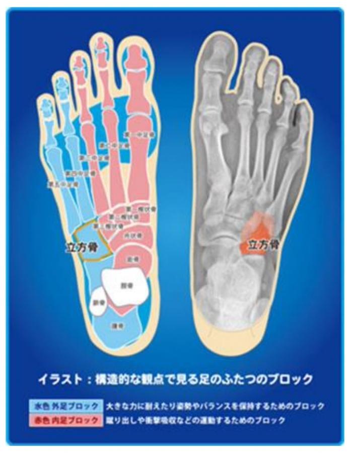 足には「横アーチ」「内側縦アーチ」「外側縦アーチ」といった3つのアーチがあり、私たちはこの3つを合わせて「足のドーム」と読んでいます。このドームをバランスよくより自然な状態に近づけることが、足の安定性と運動性を両立させるうえでとても重要です。「立方骨」は、足のドームを支えるもっとも重要な位置にあるため、立方骨を支えることが、足を良い状態に保つことにつながるのです。