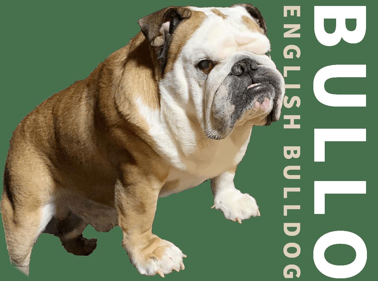 Bullo Engligh Bulldog